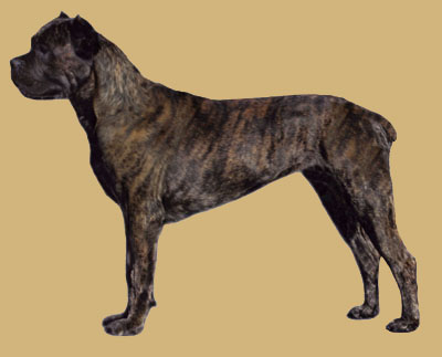 Grooming the Cane Corso